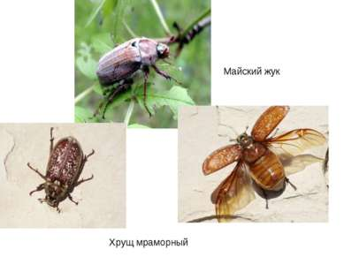 Майский жук Хрущ мраморный