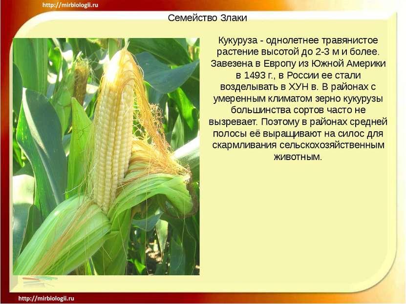 Семейство Злаки Кукуруза - однолетнее травянистое растение высотой до 2-3 м и...