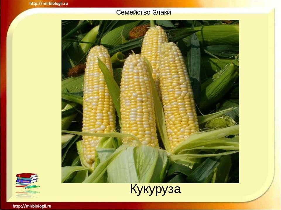 Семейство Злаки Кукуруза