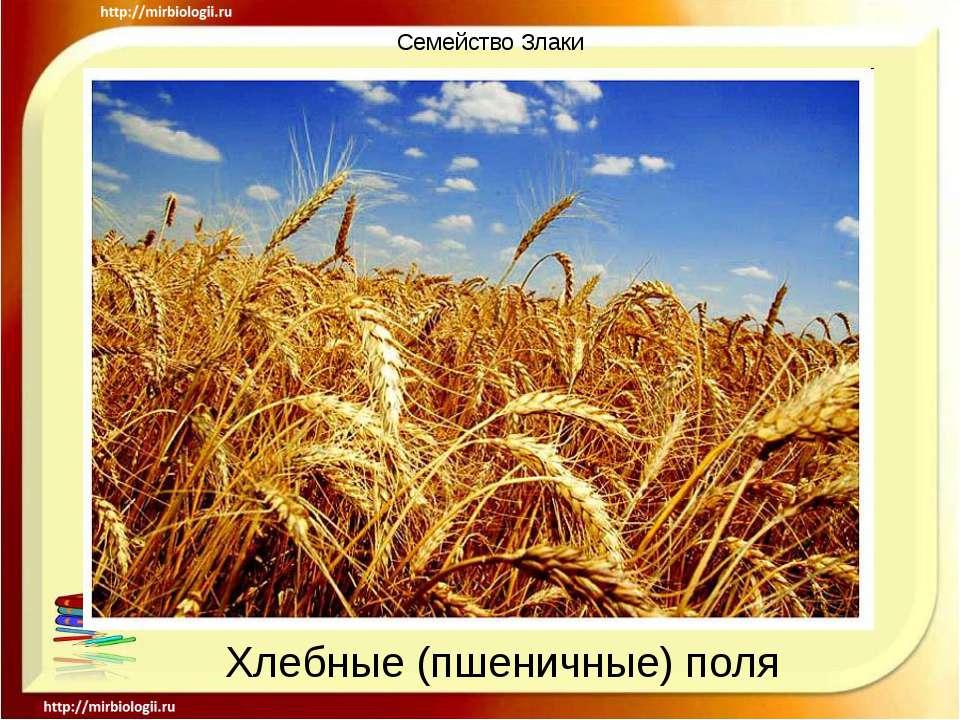 Семейство Злаки Хлебные (пшеничные) поля