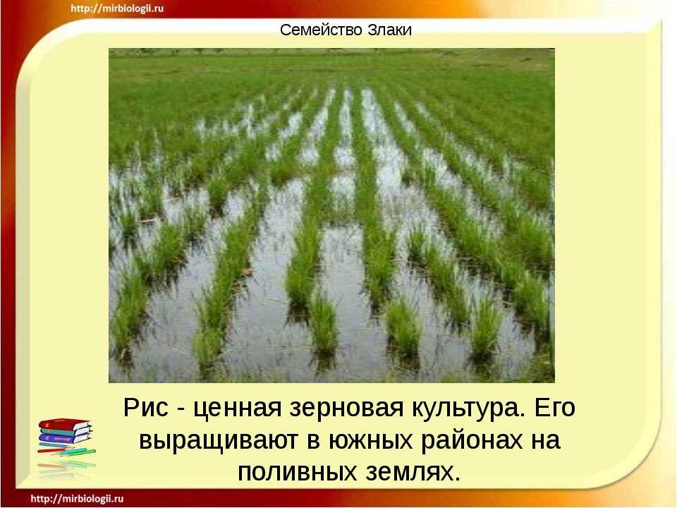 Семейство Злаки Рис - ценная зерновая культура. Его выращивают в южных района...