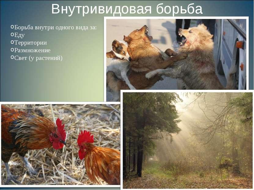 Внутривидовая борьба Борьба внутри одного вида за: Еду Территории Размножение...