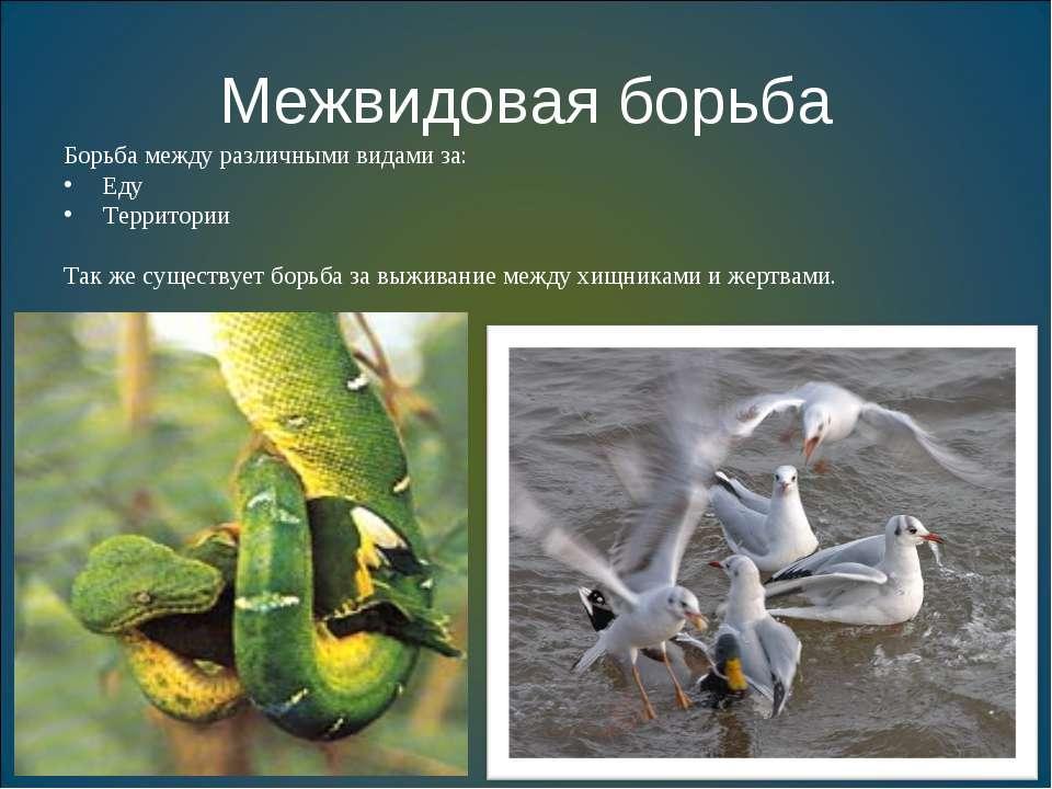 Межвидовая борьба Борьба между различными видами за: Еду Территории Так же су...