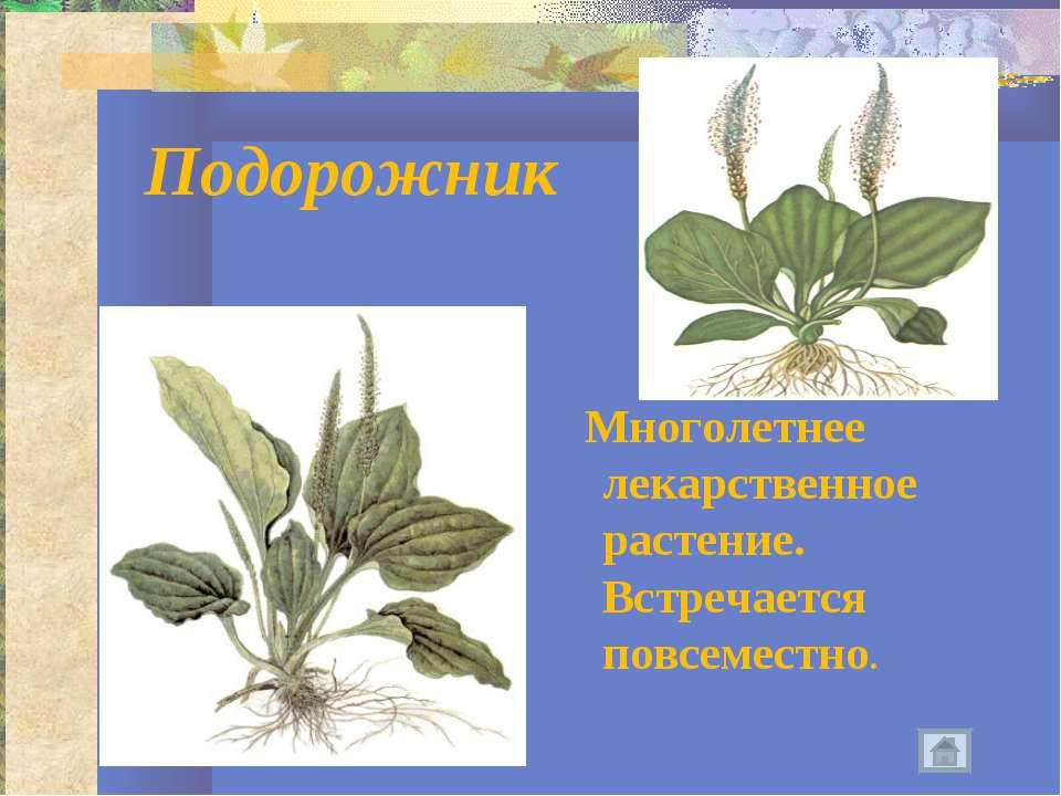 Подорожник Многолетнее лекарственное растение. Встречается повсеместно.
