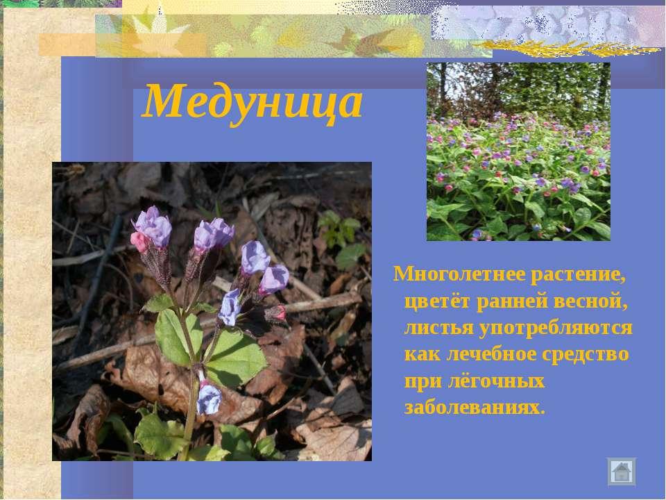 Медуница Многолетнее растение, цветёт ранней весной, листья употребляются как...