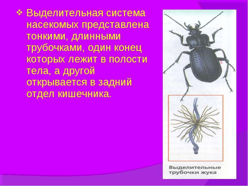 Выделительная система насекомых представлена тонкими, длинными трубочками, од...