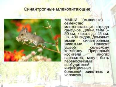 Синантропные млекопитающие МЫШИ (мышиные) - семейство млекопитающих отряда гр...