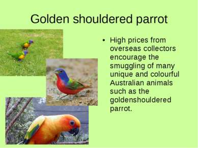 Golden shouldered parrot High prices from overseas collectors encourage the s...