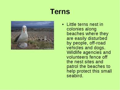 Terns Little terns nest in colonies along beaches where they are easily distu...