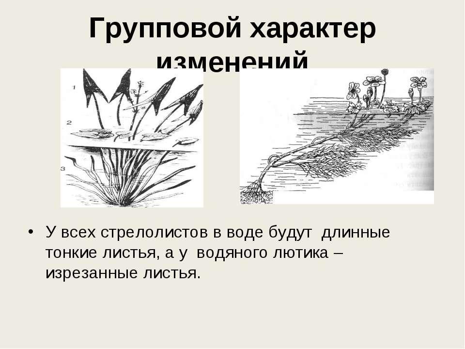 Групповой характер изменений У всех стрелолистов в воде будут длинные тонкие ...