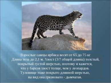 Взрослые самцы ирбиса весят от 65 до 75 кг Длина тела до 2,1 м. Хвост (3/7 об...