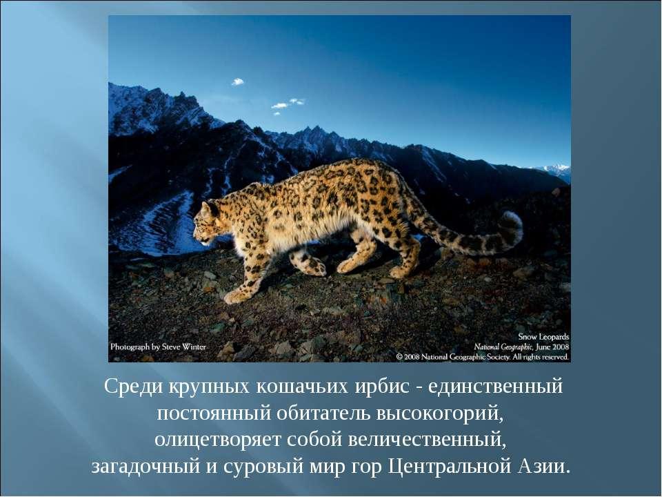 Среди крупных кошачьих ирбис - единственный постоянный обитатель высокогорий,...