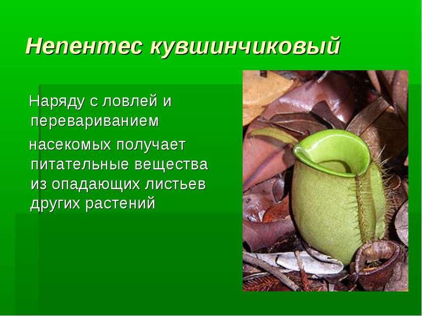 Непентес кувшинчиковый Наряду с ловлей и перевариванием насекомых получает п...