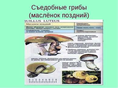 Съедобные грибы (маслёнок поздний)