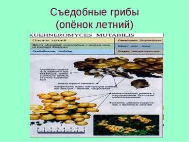 Съедобные грибы (опёнок летний)