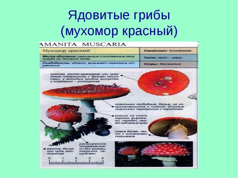 Ядовитые грибы (мухомор красный)
