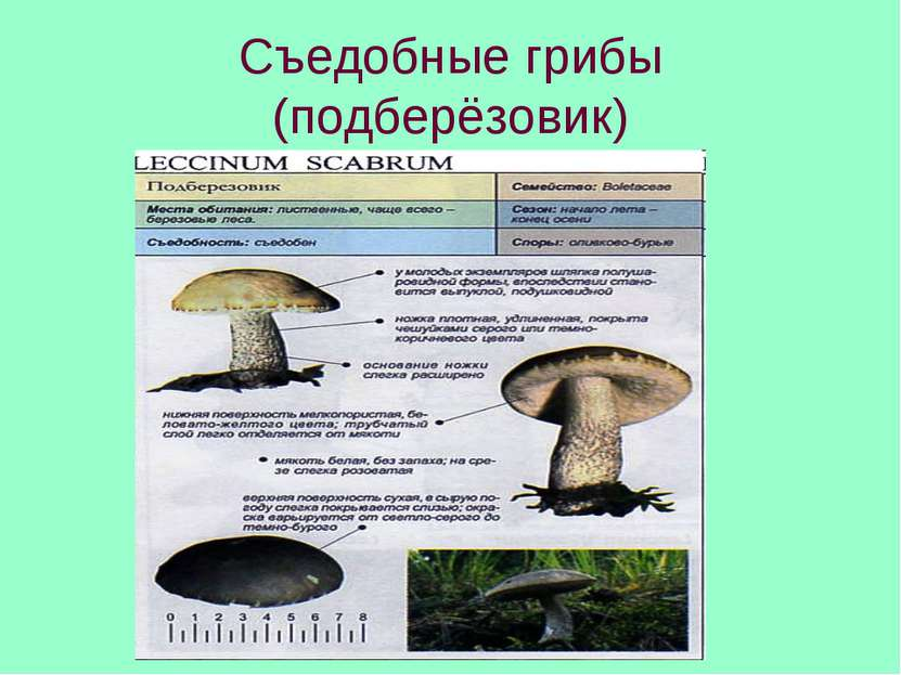 Съедобные грибы (подберёзовик)