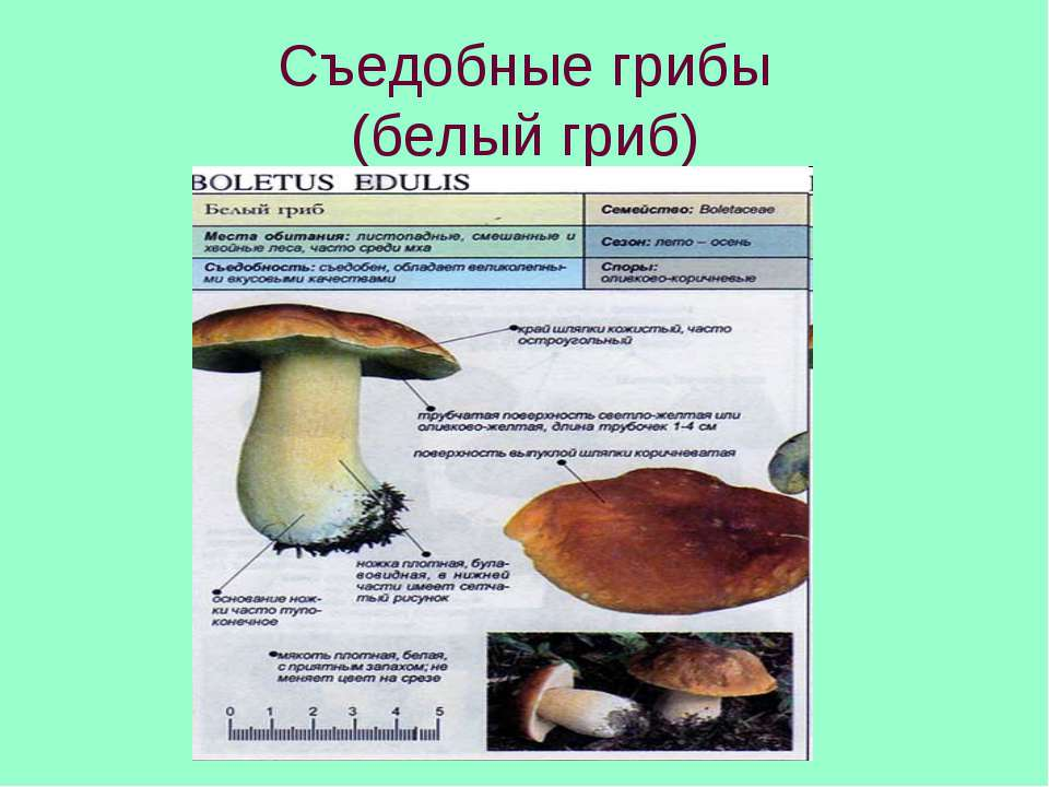 Съедобные грибы (белый гриб)