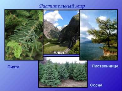 Растительный мир Пихта Сосна Лиственница Альп