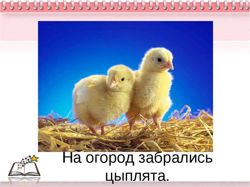 На огород забрались цыплята.