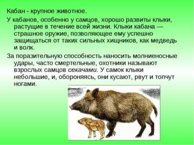 Кабан - крупное животное. У кабанов, особенно у самцов, хорошо развиты клыки,...
