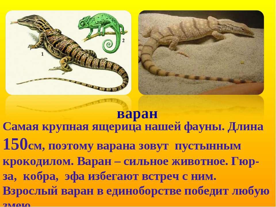 варан Самая крупная ящерица нашей фауны. Длина 150см, поэтому варана зовут пу...