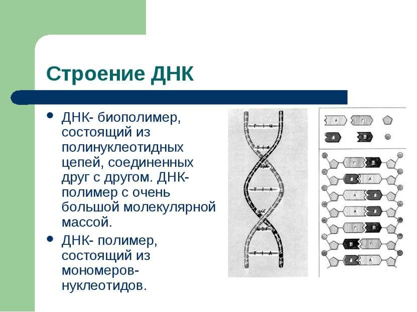 Строение ДНК ДНК- биополимер, состоящий из полинуклеотидных цепей, соединенны...