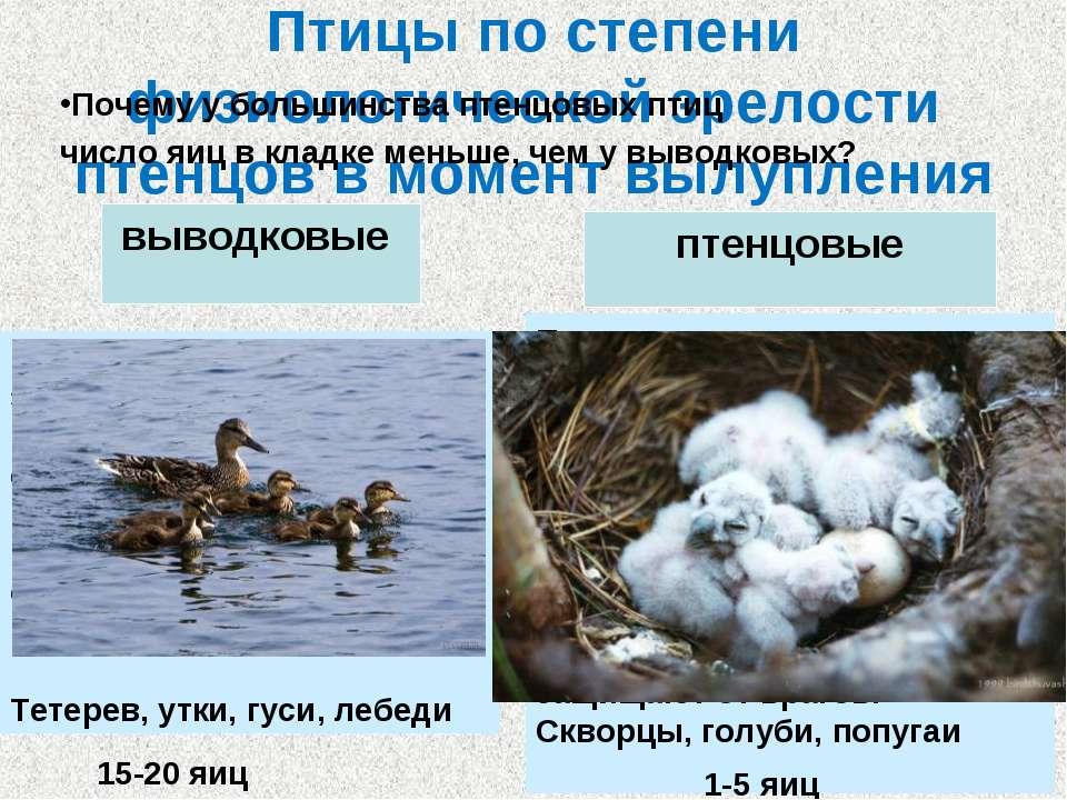 Птицы по степени физиологической зрелости птенцов в момент вылупления выводко...