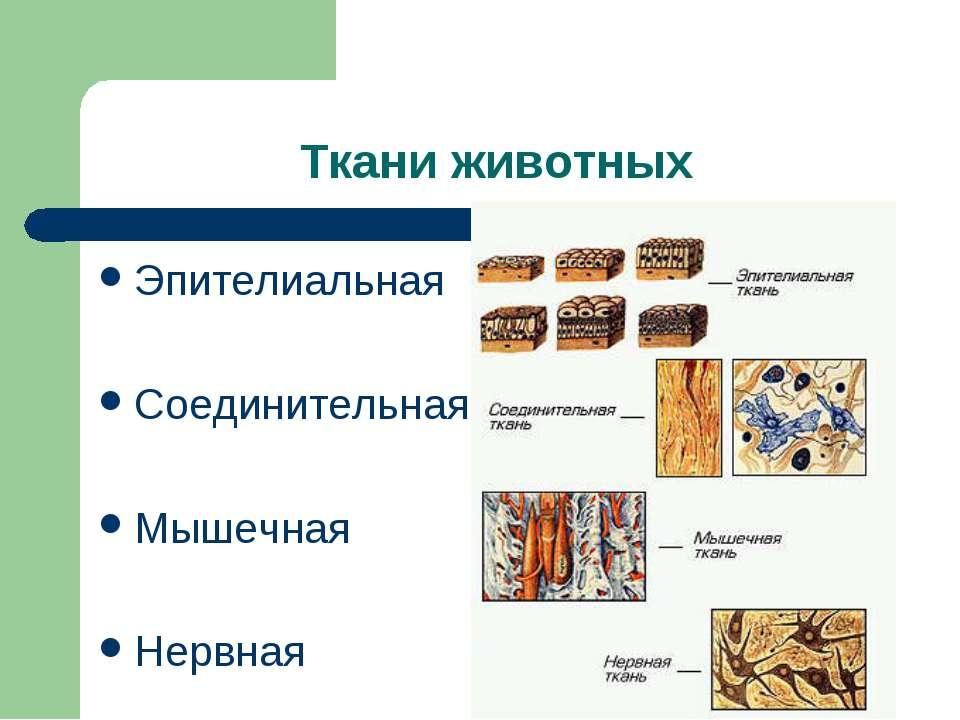 Ткани животных Эпителиальная Соединительная Мышечная Нервная