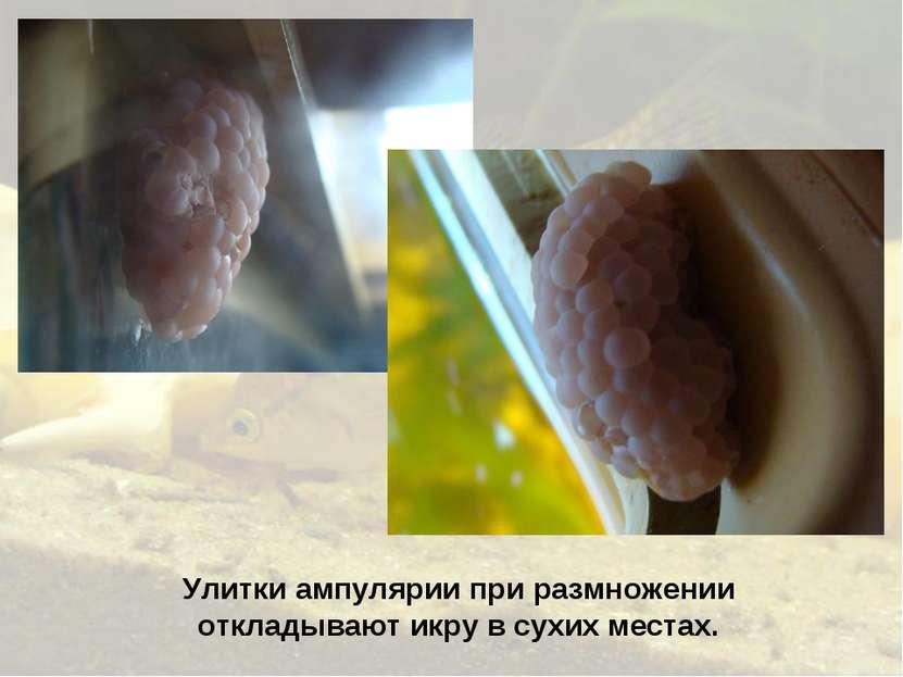 Улитки ампулярии при размножении откладывают икру в сухих местах.