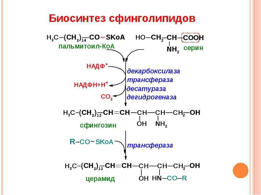 Биосинтез сфинголипидов ~