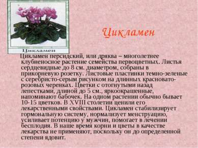 Цикламен Цикламен персидский, или дряква – многолетнее клубненосное растение ...