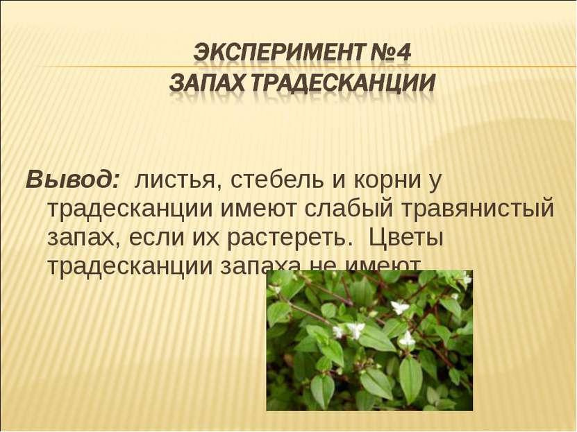 Вывод: листья, стебель и корни у традесканции имеют слабый травянистый запах,...