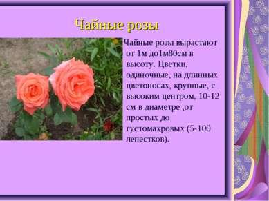 Чайные розы Чайные розы вырастают от 1м до1м80см в высоту. Цветки, одиночные,...