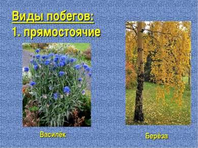 Виды побегов: 1. прямостоячие Василёк Берёза