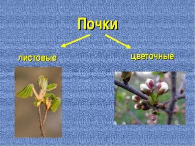 Почки листовые цветочные