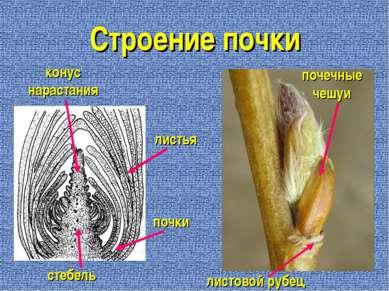 Строение почки листовой рубец почечные чешуи стебель конус нарастания листья ...