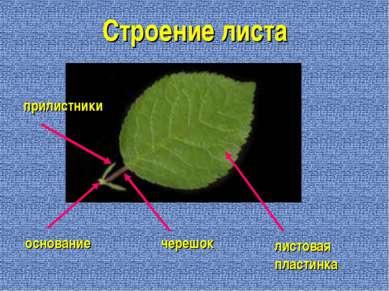 Строение листа листовая пластинка черешок основание прилистники