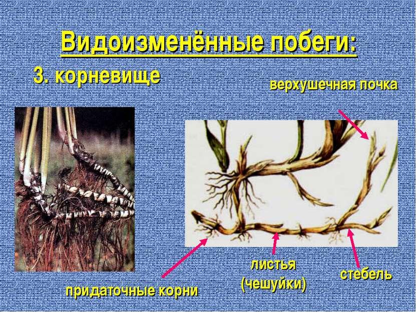 Видоизменённые побеги: 3. корневище листья (чешуйки) стебель верхушечная почк...