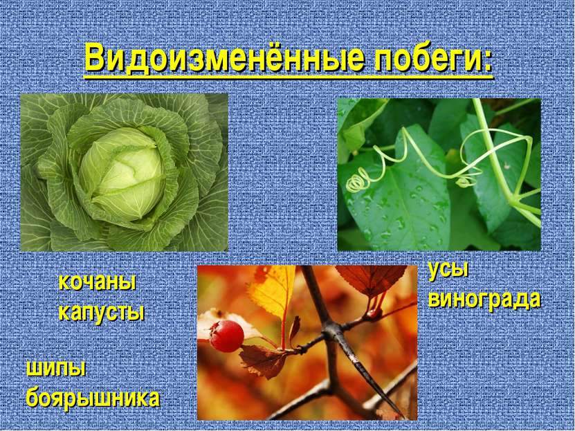 Видоизменённые побеги: кочаны капусты усы винограда шипы боярышника