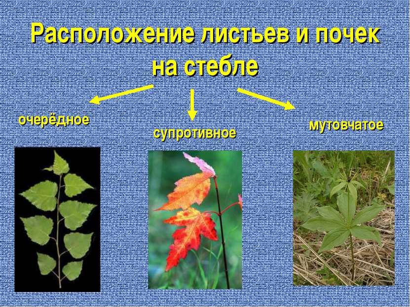 Расположение листьев и почек на стебле очерёдное супротивное мутовчатое