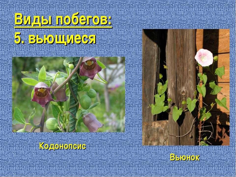 Виды побегов: 5. вьющиеся Кодонопсис Вьюнок