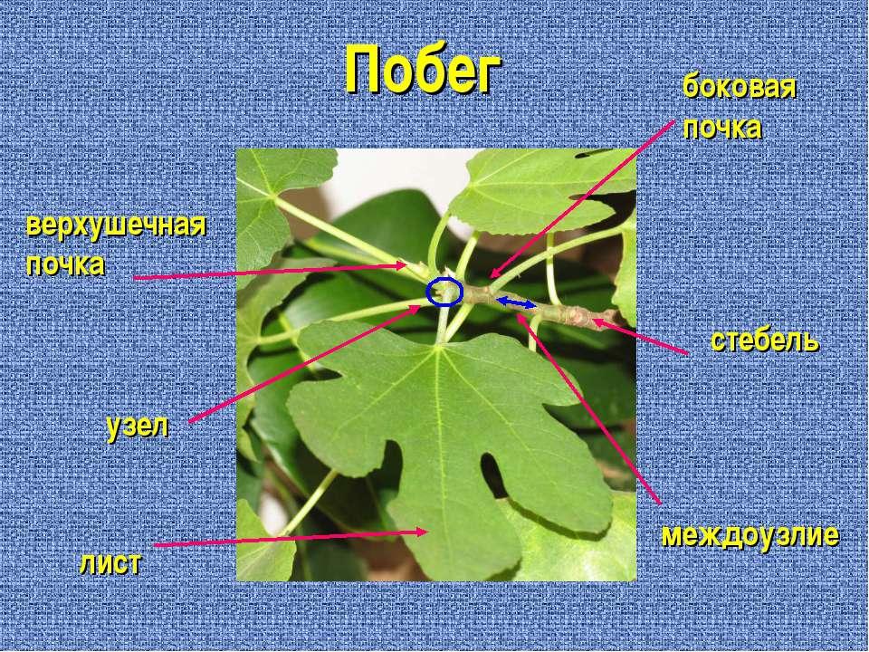 Побег лист узел верхушечная почка междоузлие стебель боковая почка