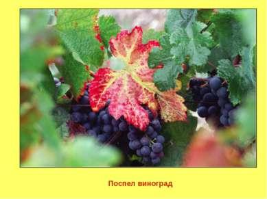 Поспел виноград