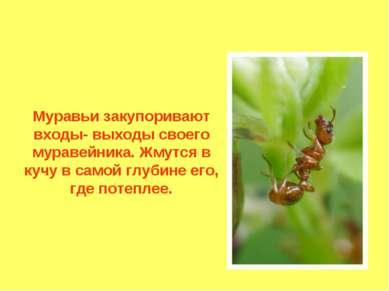 Муравьи закупоривают входы- выходы своего муравейника. Жмутся в кучу в самой ...
