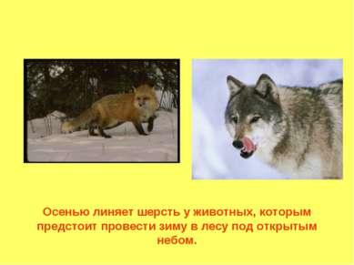 Осенью линяет шерсть у животных, которым предстоит провести зиму в лесу под о...