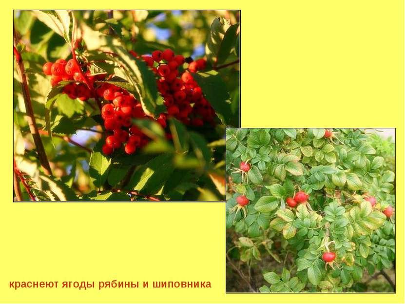 краснеют ягоды рябины и шиповника