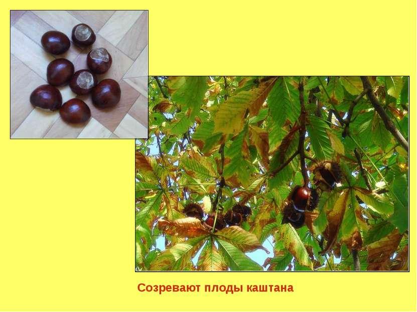 Созревают плоды каштана