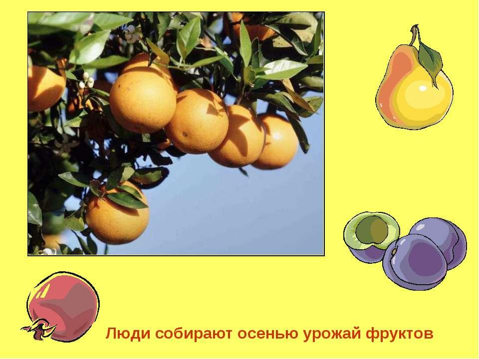 Люди собирают осенью урожай фруктов