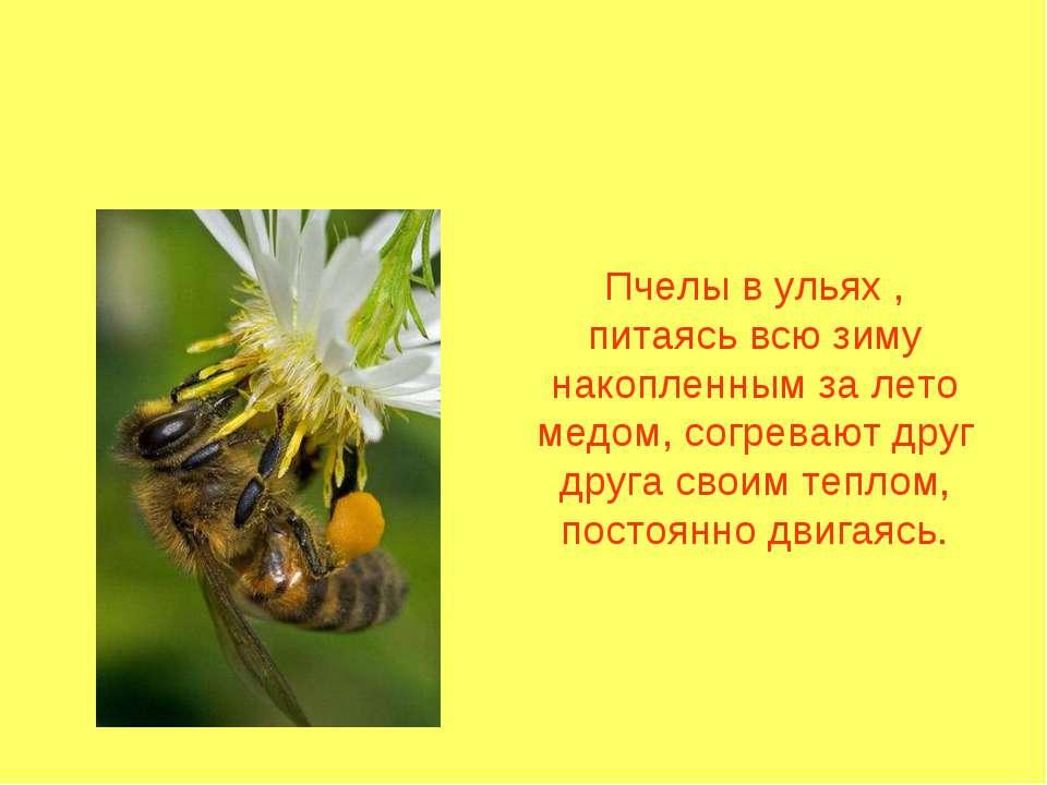 Пчелы в ульях , питаясь всю зиму накопленным за лето медом, согревают друг др...